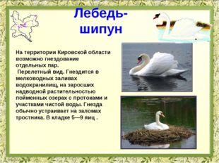 Лебедь-шипун На территории Кировской области возможно гнездование отдельных п