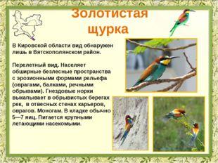 Золотистая щурка В Кировской области вид обнаружен лишь в Вятскополянском рай