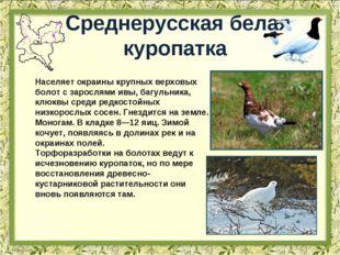 Среднерусская белая куропатка Населяет окраины крупных верховых болот с зарос