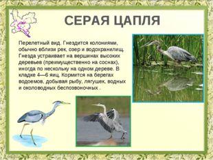СЕРАЯ ЦАПЛЯ Перелетный вид. Гнездится колониями, обычно вблизи рек, озер и во