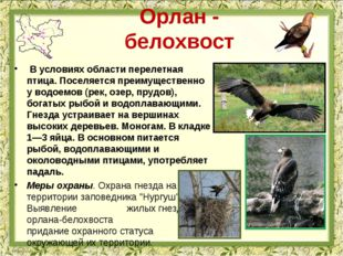 Орлан - белохвост В условиях области перелетная птица. Поселяется преимуществ