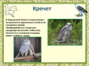 Кречет В Кировской области нерегулярно встречаются одиночные особи в не гнезд