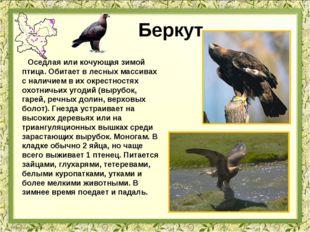 Беркут Оседлая или кочующая зимой птица. Обитает в лесных массивах с наличием