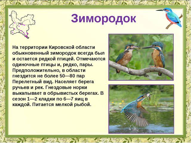 Зимородок На территории Кировской области обыкновенный зимородок всегда был...