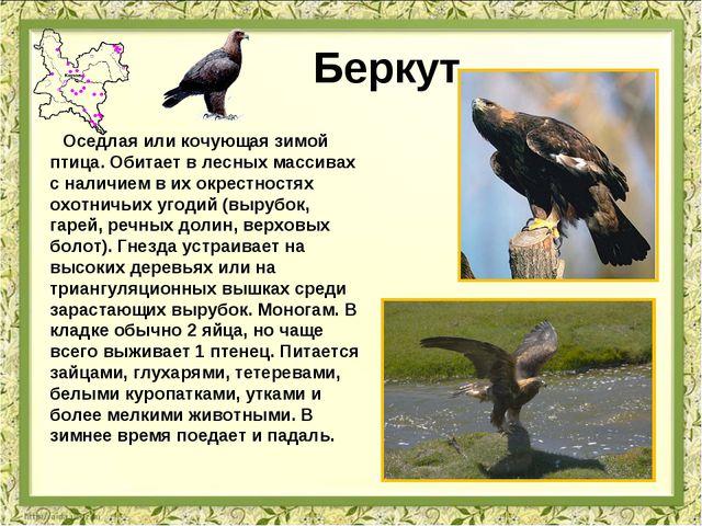 Беркут Оседлая или кочующая зимой птица. Обитает в лесных массивах с наличием...
