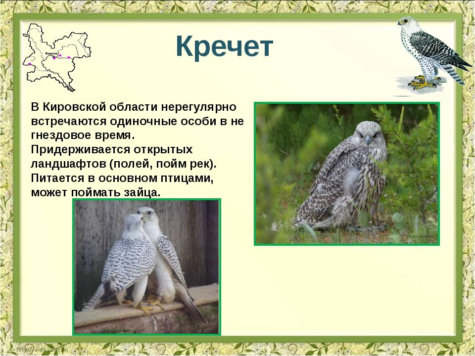 Кречет В Кировской области нерегулярно встречаются одиночные особи в не гнезд...