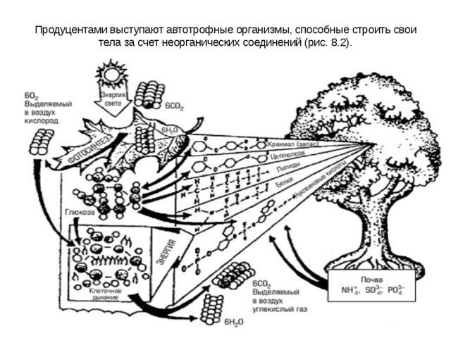Продуцентами выступают автотрофные организмы, способные строить свои тела за...