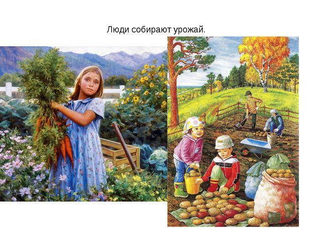 Люди собирают урожай.