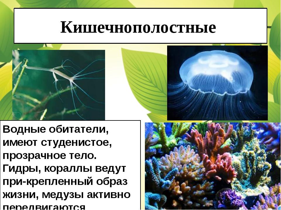 Кишечнополостные Водные обитатели, имеют студенистое, прозрачное тело. Гидры,...