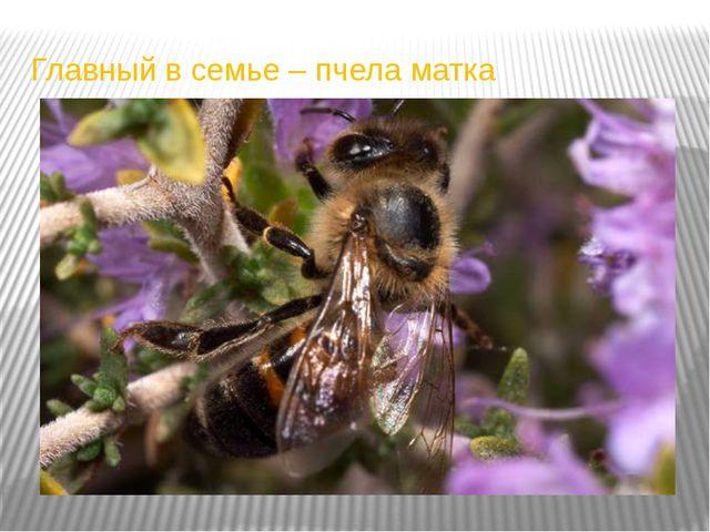 Главный в семье – пчела матка
