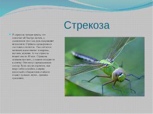 Стрекоза У стрекозы четыре крыла, это помогает ей быстро летать, а удлиненно