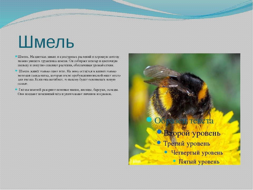 Шмель Шмель. На цветках диких и культурных растений в хорошую погоду можно у...