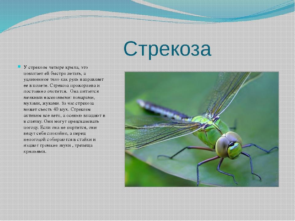 Стрекоза У стрекозы четыре крыла, это помогает ей быстро летать, а удлиненно...