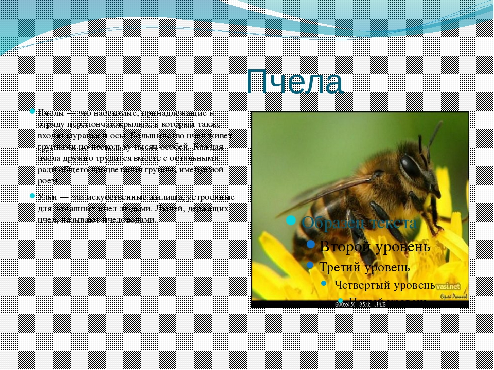 Пчела Пчелы — это насекомые, принадлежащие к отряду перепончатокрылых, в кот...