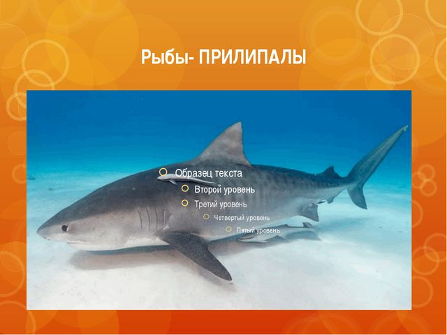 Рыбы- ПРИЛИПАЛЫ