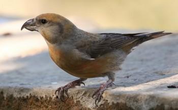 http://birds-altay.ru/wp-content/uploads/2011/03/4-350x217.jpg