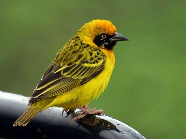 http://images.forwallpaper.com/files/images/6/61f6/61f6e147/125810/yellow-bird.jpg