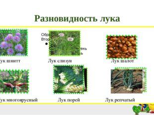 Разновидность лука Лук шнитт Лук слизун Лук шалот Лук многоярусный Лук порей