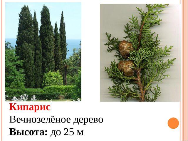 Кипарис Вечнозелёное дерево Высота: до 25 м