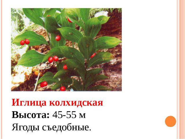 Иглица колхидская Высота: 45-55 м Ягоды съедобные.