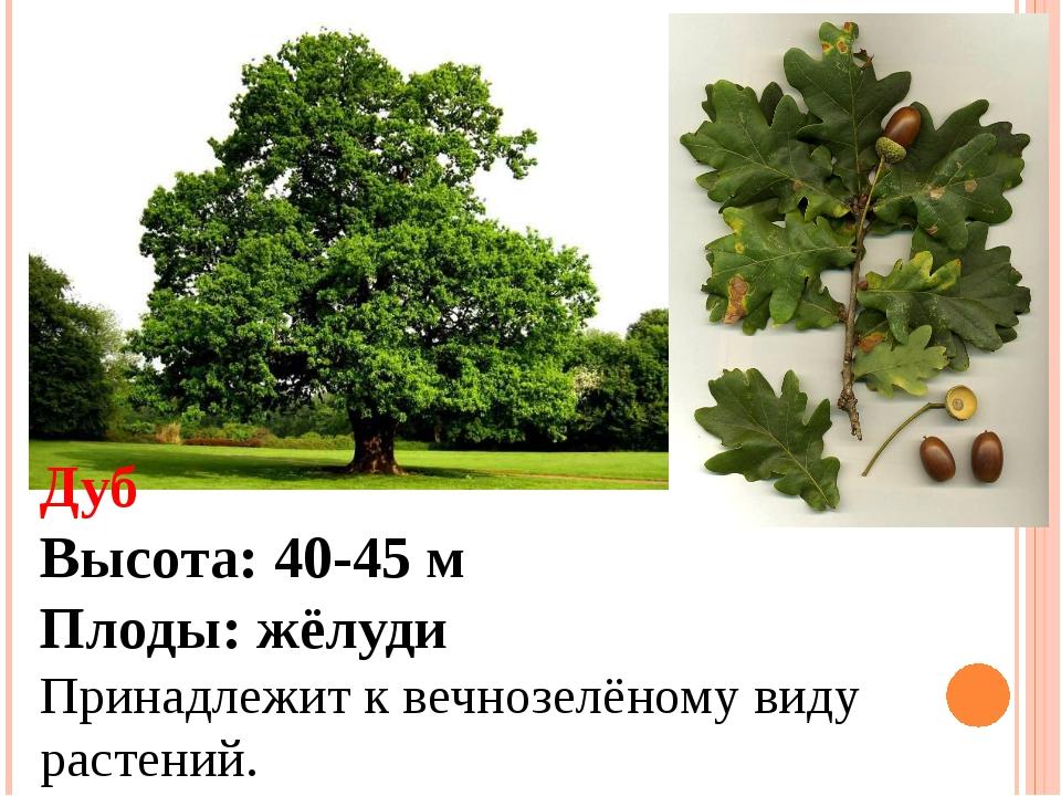 Дуб Высота: 40-45 м Плоды: жёлуди Принадлежит к вечнозелёному виду растений.