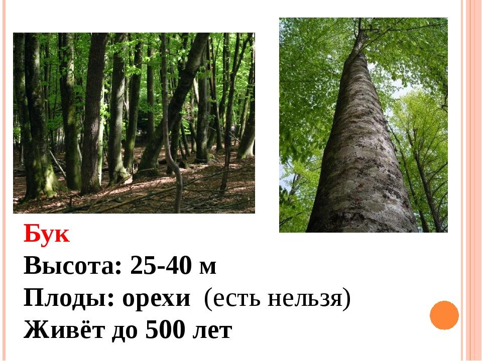 Бук Высота: 25-40 м Плоды: орехи (есть нельзя) Живёт до 500 лет