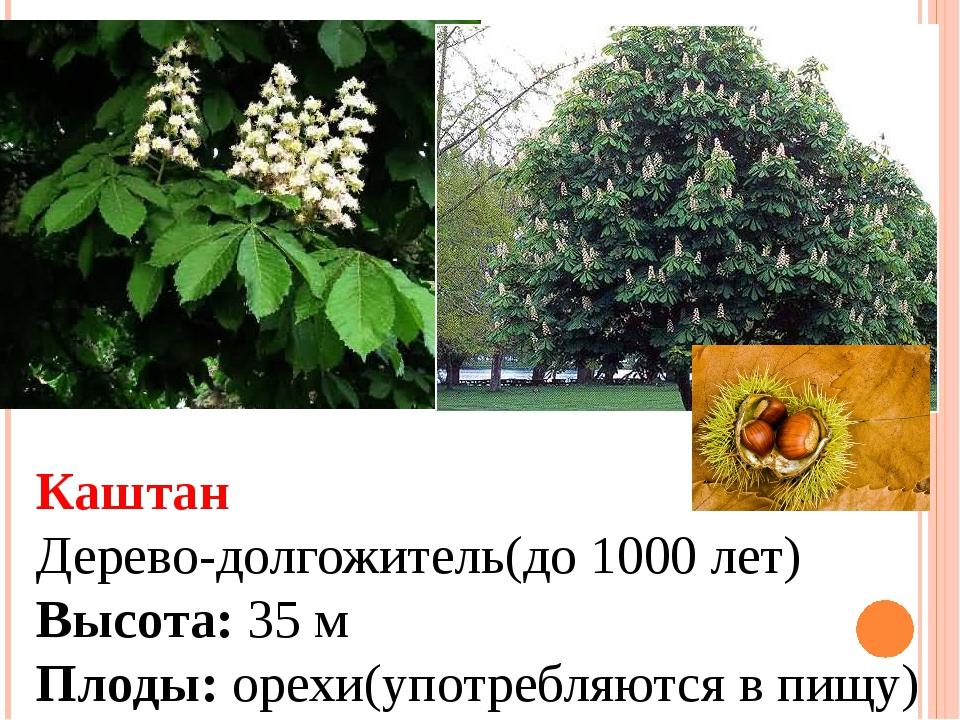 Каштан Дерево-долгожитель(до 1000 лет) Высота: 35 м Плоды: орехи(употребляютс...