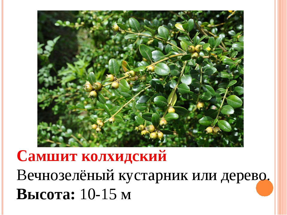 Самшит колхидский Вечнозелёный кустарник или дерево. Высота: 10-15 м