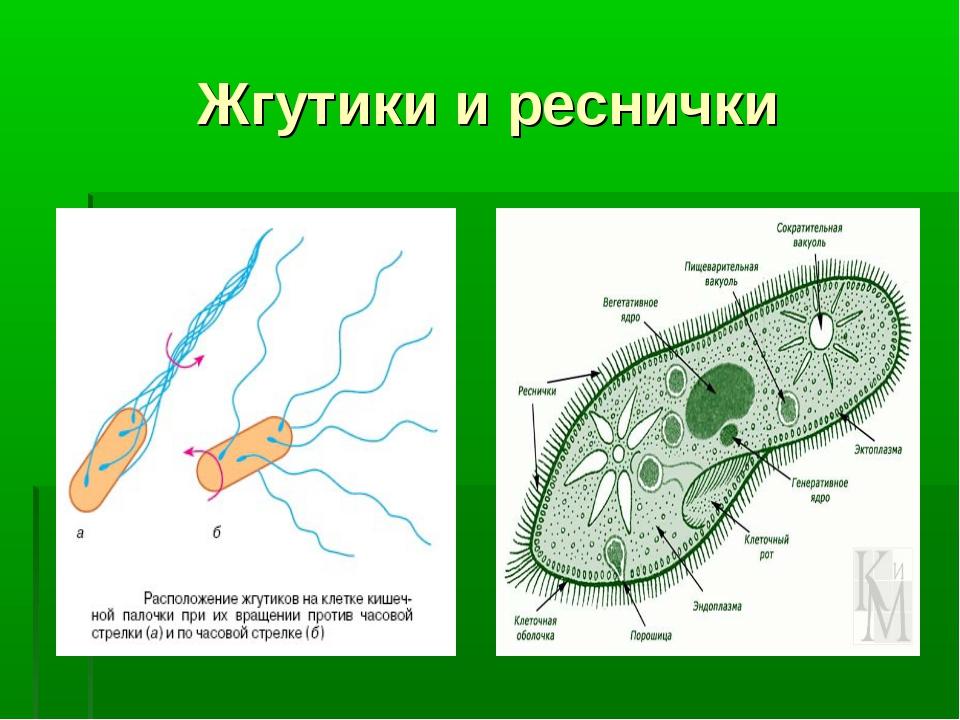 Жгутики и реснички характеристика