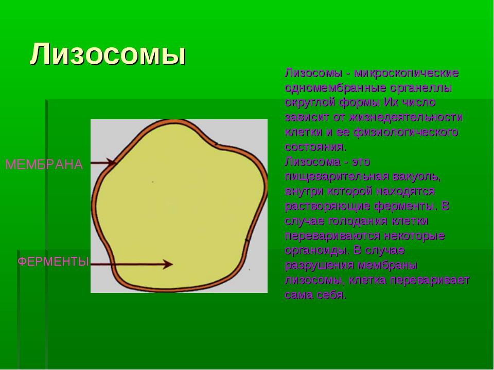 Лизосомы МЕМБРАНА ФЕРМЕНТЫ Лизосомы - микроскопические одномембранные органел...