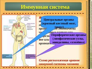 Иммунная система – объединяет органы и ткани, обеспечивающие защиту организма