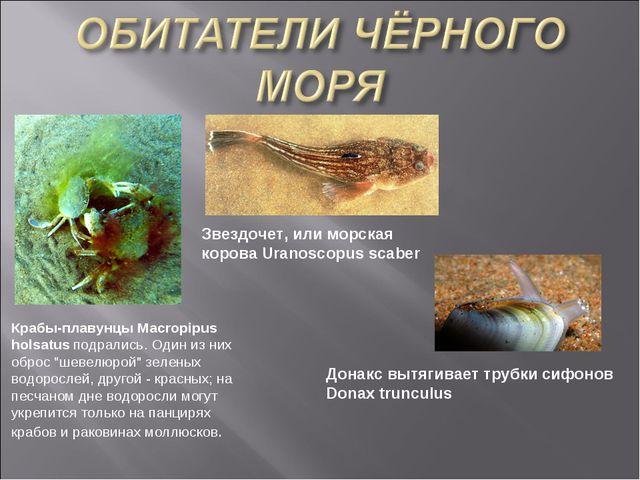 """Крабы-плавунцы Macropipus holsatus подрались. Один из них оброс """"шевелюрой"""" з..."""