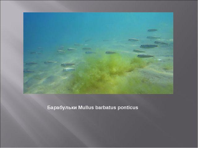Барабульки Mullus barbatus ponticus