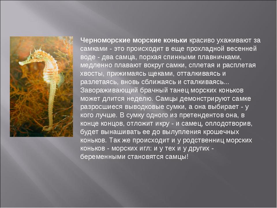 Черноморские морские коньки красиво ухаживают за самками - это происходит в е...