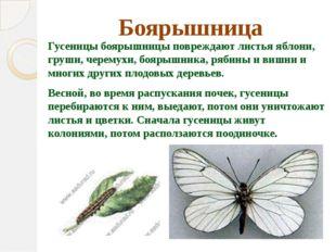 Боярышница Гусеницы боярышницы повреждают листьяяблони, груши, черемухи, боя
