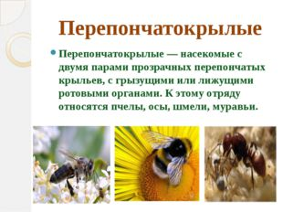 Перепончатокрылые Перепончатокрылые — насекомые с двумя парами прозрачных пер
