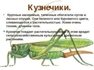 Кузнечики.  Крупные насекомые, типичные обитатели лугов и лесных опушек. Они