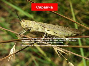 Саранча Саранча – стадное насекомое отряда прямокрылых. Саранча похожа на куз