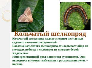 Кольчатый шелкопряд является одним из главных садовых насекомых-вредителей.