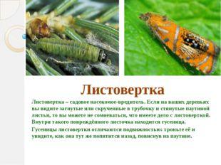 Листовертка Листовертка – садовое насекомое-вредитель. Если на ваших деревья