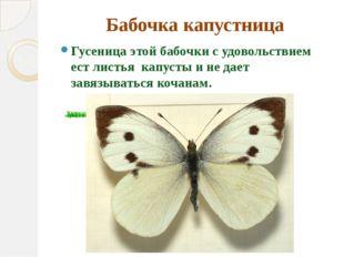 Бабочка капустница Гусеница этой бабочки с удовольствием ест листья капусты и