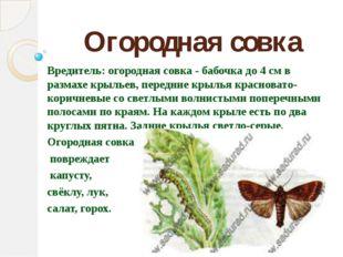 Огородная совка Вредитель: огородная совка - бабочка до 4 см в размахе крылье