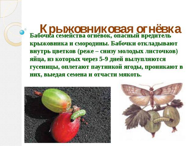 Крыжовниковая огнёвка Бабочка семейства огнёвок, опасный вредитель крыжовника...