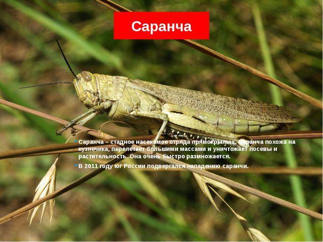 Саранча Саранча – стадное насекомое отряда прямокрылых. Саранча похожа на куз...