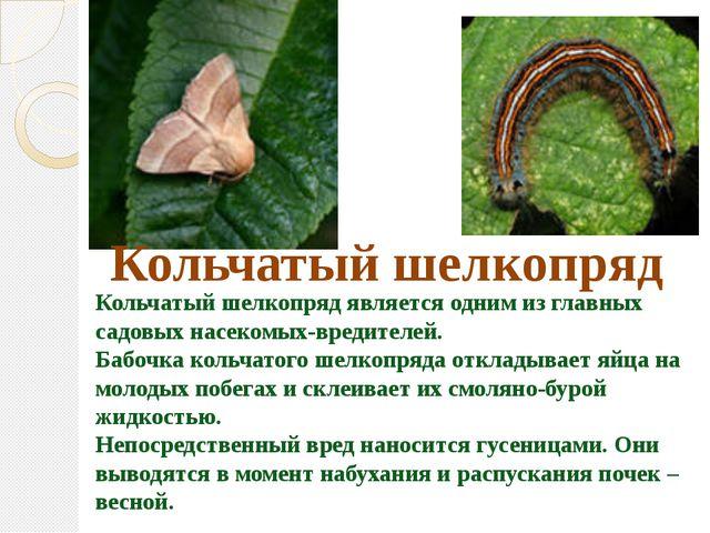Кольчатый шелкопряд является одним из главных садовых насекомых-вредителей....