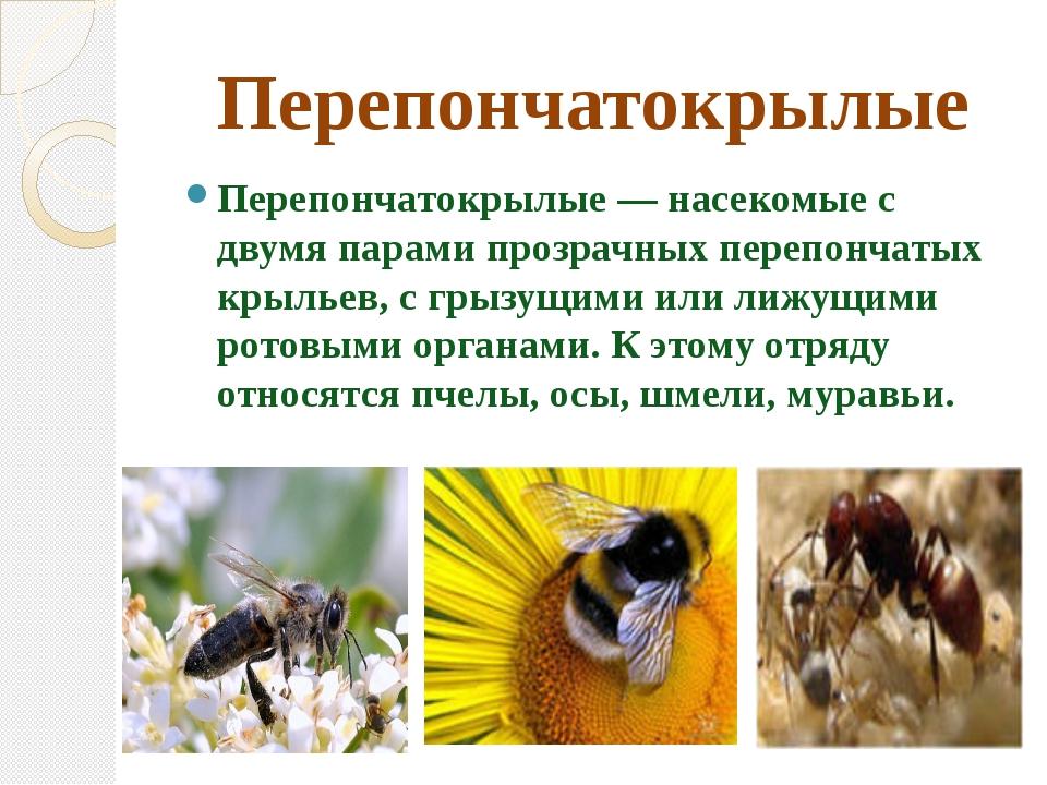 Перепончатокрылые Перепончатокрылые — насекомые с двумя парами прозрачных пер...