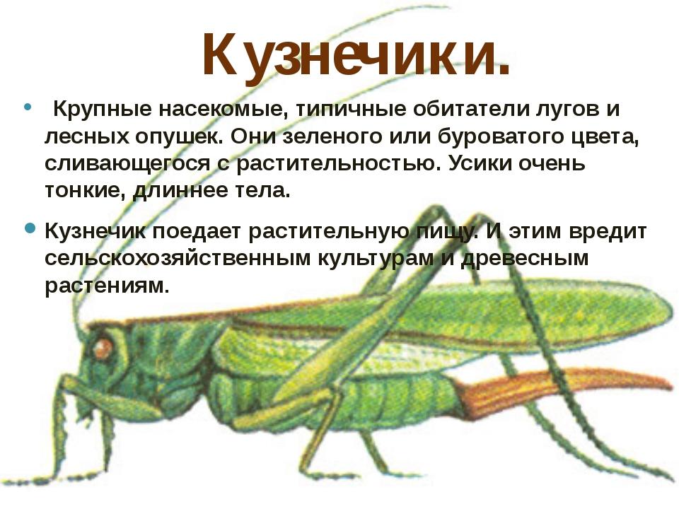 Кузнечики.  Крупные насекомые, типичные обитатели лугов и лесных опушек. Они...