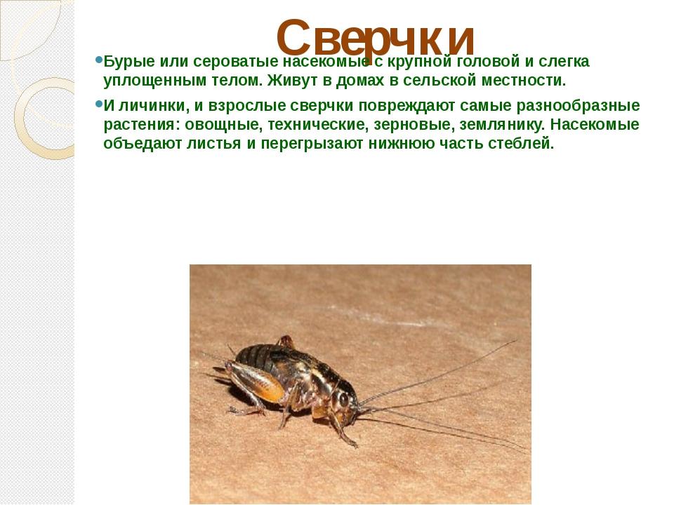 Сверчки Бурые или сероватые насекомые с крупной головой и слегка уплощенным т...