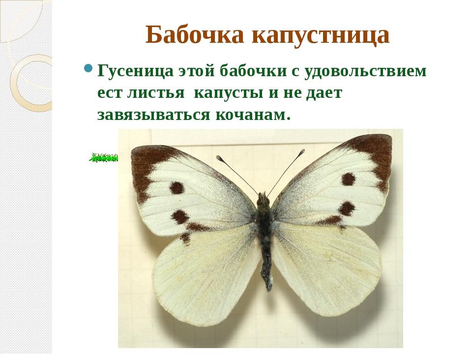 Бабочка капустница Гусеница этой бабочки с удовольствием ест листья капусты и...