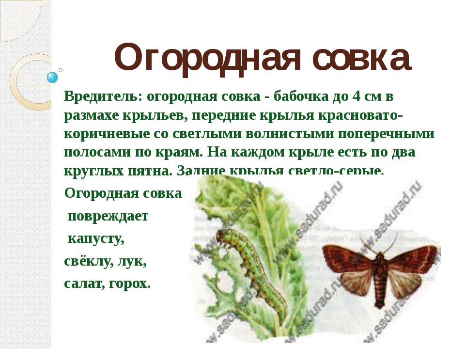 Огородная совка Вредитель: огородная совка - бабочка до 4 см в размахе крылье...